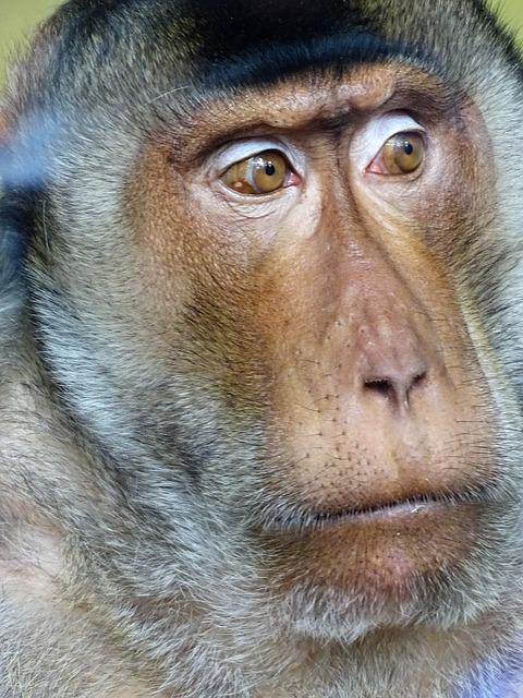 Monkey, Mammal, Portrait, Primate