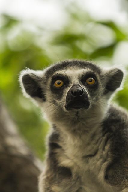 Lemur, Mammal, Animal, Nature, Wildlife, Primate