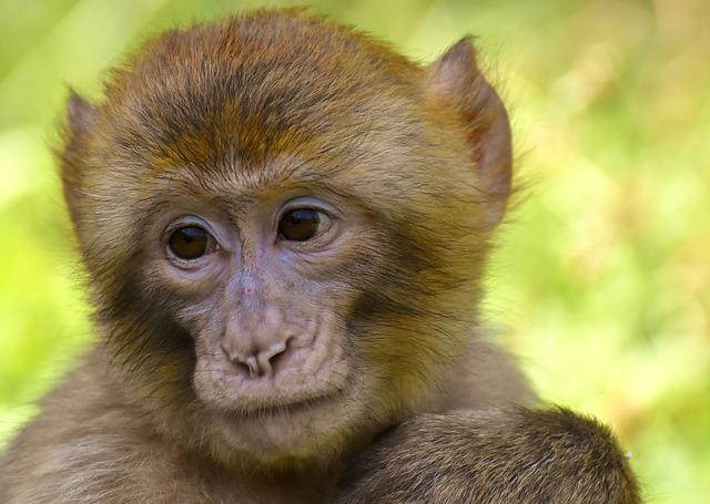 Barbary Ape, Monkey, Mammal, Animals, Primates