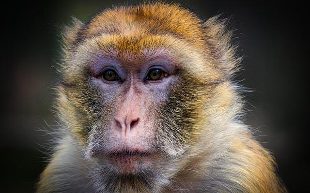 Barbary Ape, Monkey, Mahogany, Animal, Mammal, Primates