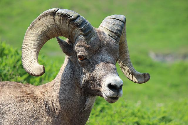 Big Horn Sheep, Ram, Animal, Mammal, Male, Mountain