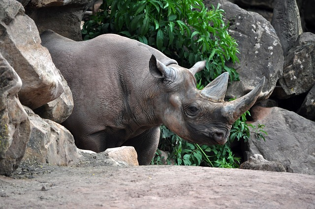 Nature, Animal, Animal World, Mammal, Wild, Rhino