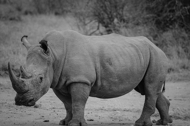 Rhinoceros, Safari, Rhino, Mammal, Animal, Wildlife
