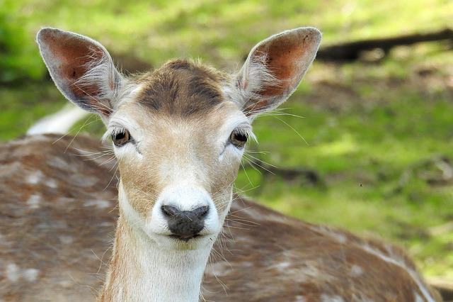 Roe Deer, Fallow Deer, Animal, Nature, Mammal