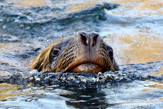 Seal, Sea Lion, Robbe, Mammal, Sea, Meeresbewohner