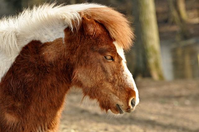 Shetland Pony, Horse, Pony, Animal, Mammal, Equine