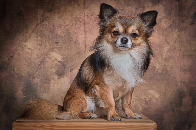 Chihuahua, Mammal, Dog, Animal, Cute, Fur, Small
