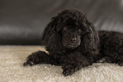 Dwarf Poodle Black, Dog, Cute, Small, Pretty, Mammal