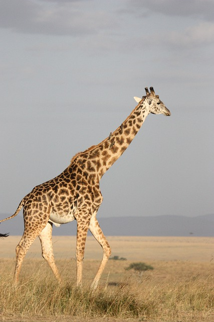 Giraffe, Tall, Mammal, Africa, South Africa, Wild
