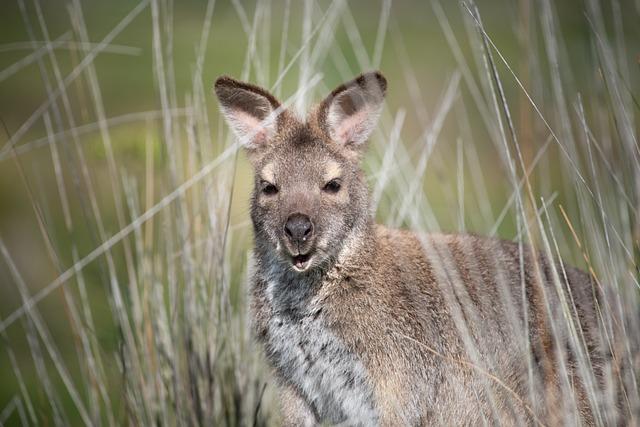 Wallaby, Marsupial, Bennetts Wallaby, Mammal, Wildlife