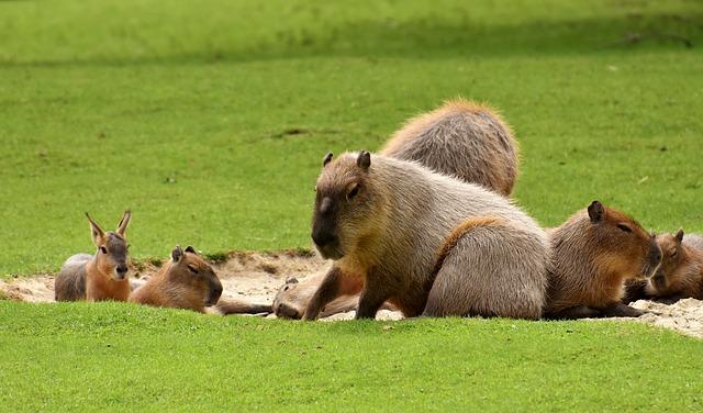 Water Pigs, Capybara, Animal World, Mammal, Zoology