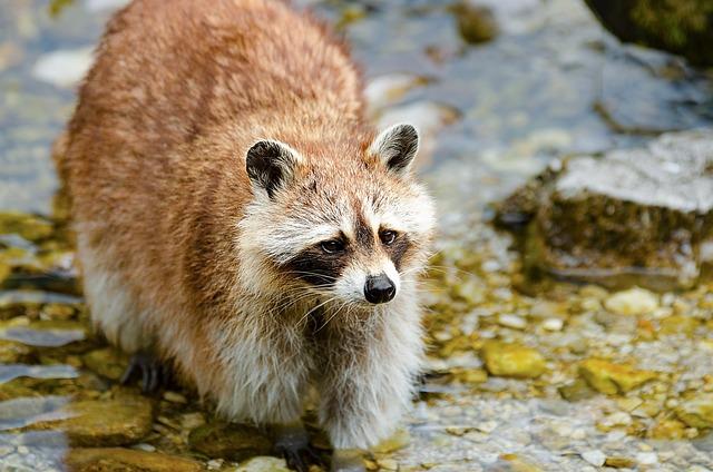 Raccoon, Small Bear, Predator, Wild Animal, Mammal, Fur