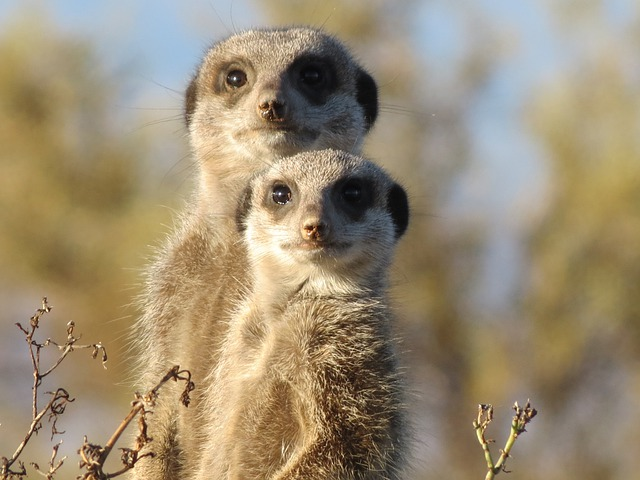 Meerkat, Animal, Wild, Wildlife, Mammal, Suricate