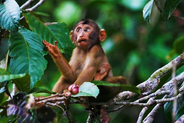 Monkey, Borneo, Wildlife, Mammal, Wild, Animal, Nature