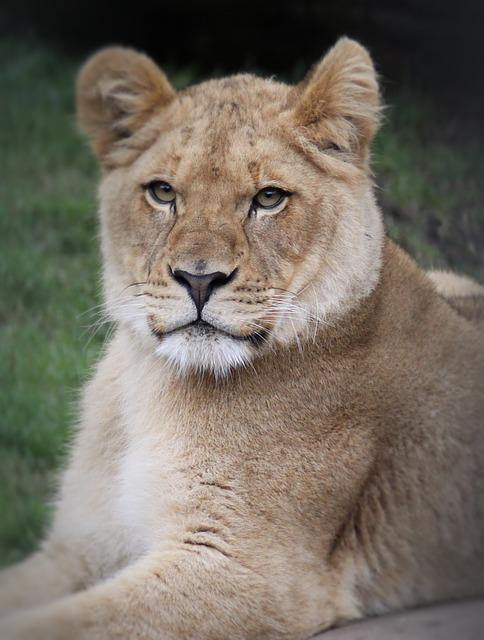 Cat, Mammal, Lion, Wildlife, Animal Portrait