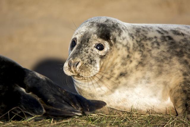 Seal, Closeup, Wildlife, Mammal, Nature