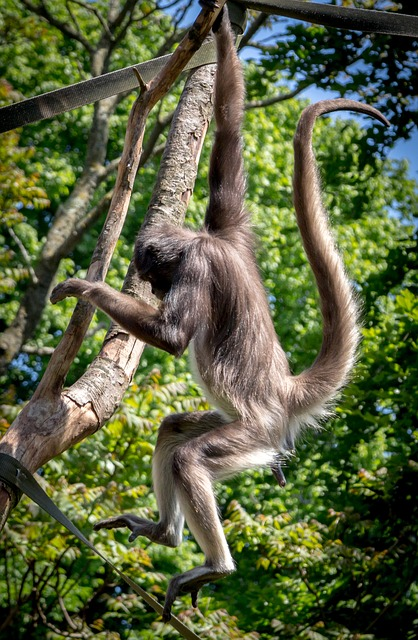 Spider Monkey, Ape, Monkey, Wildlife, Animal, Mammal