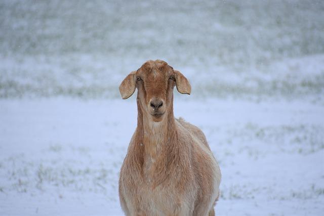 Nature, Animal, Mammal, Winter, Wildlife, Goat