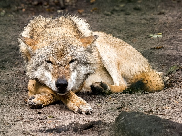 Wolf, Animal, Predator, Mammal