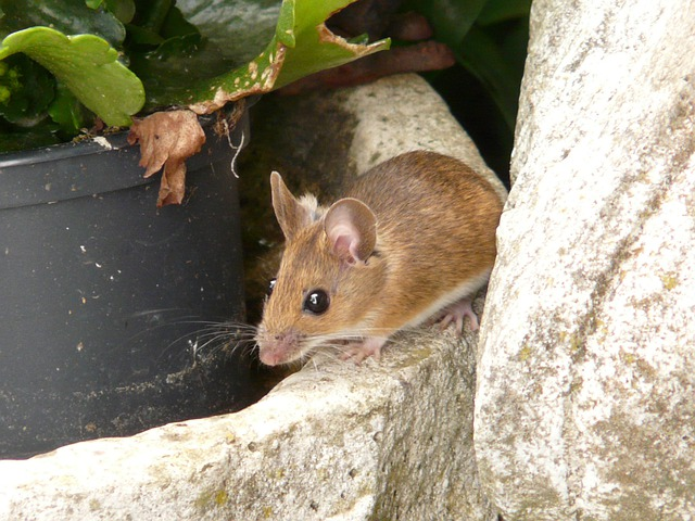 Wood Mouse, Apodemus Sylvaticus, Mammal, Long Tail Mice