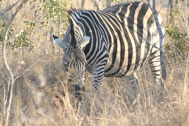 Mammal, Animal, Grazing Zebra, Zebra, Africa, Nature