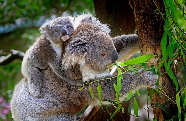 Koala, Animals, Mammals, Australian, Grey, Furs, Furry