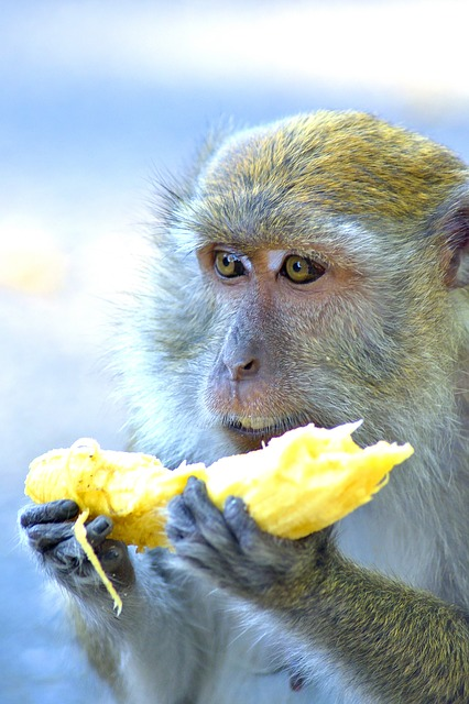 Monkey, Monkeys, Ape, Apes, Mammal, Mammals, Animal