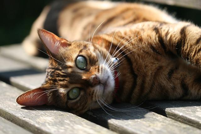 Cat, Animal Kingdom, Mammals, Cute, Pet, Bengal