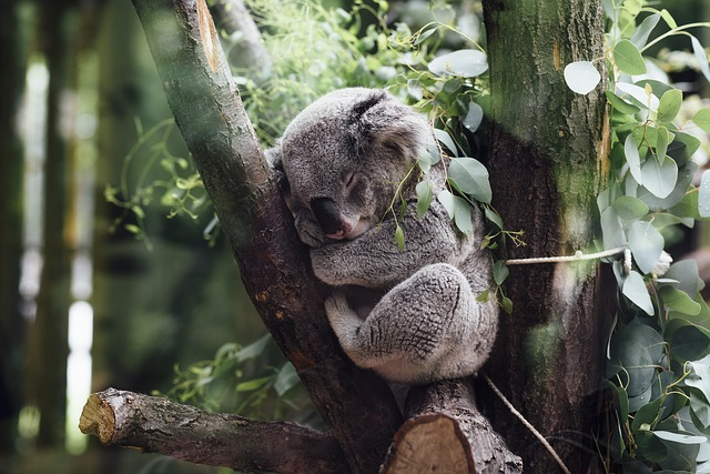 Animals, Mammals, Koala, Furry, Fluffy, Adorable, Cute
