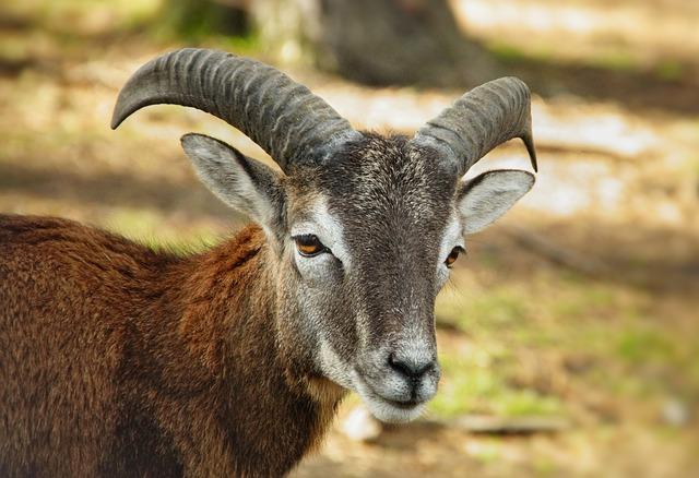 Mouflon, Sheep, Horns, Bock, Mammals, Nature