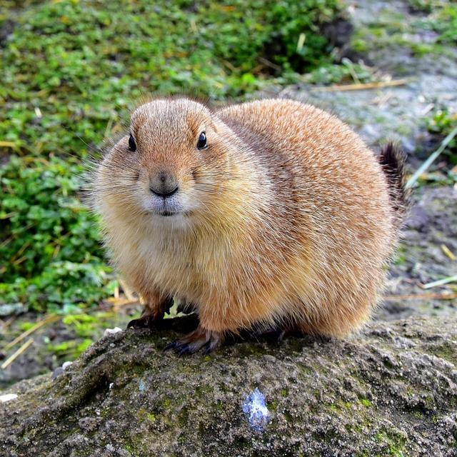 Rodent, Mammals, Nature, Wildlife, Prairie Dog