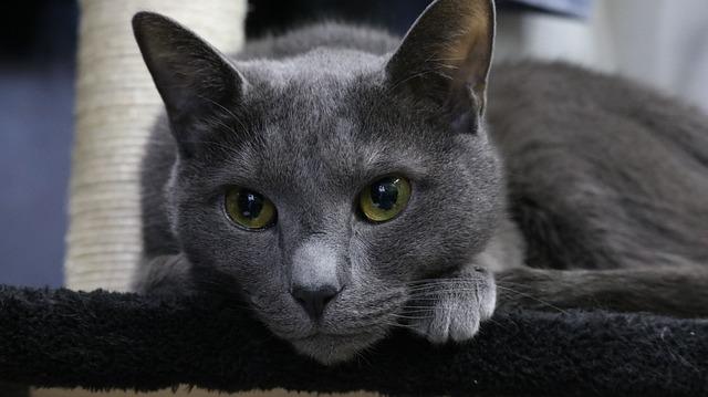 Animal, Cat, Cute, Mammals, Grey, Pet