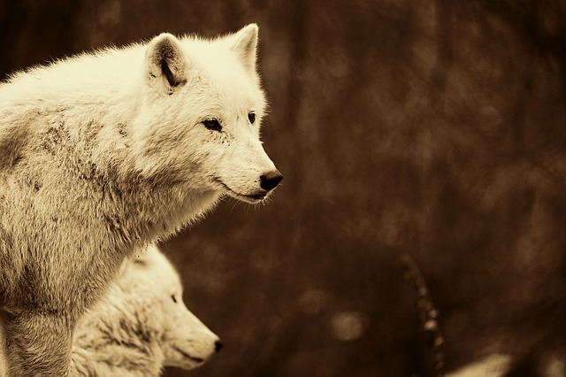 Wolves, Predators, Mammals, White Wolves