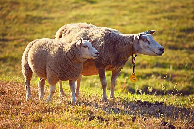 Sheeps, Animals, Mammals, Farm Animals, Livestock, Wool