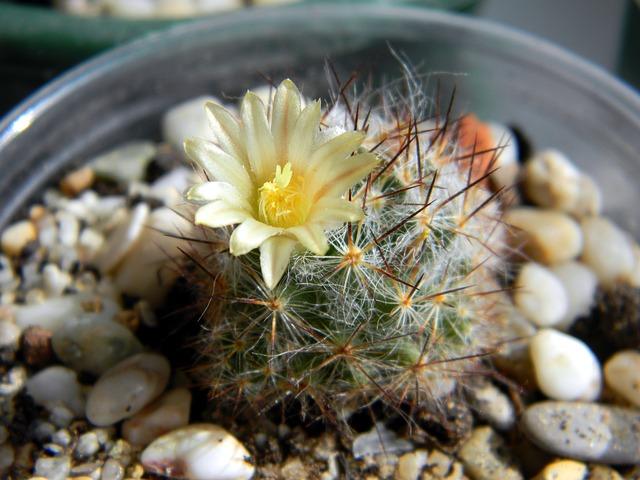 Cactus, Succulent, Mammillaria, Mammillaria Prolifera