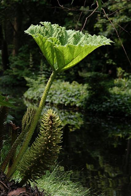 Mammoth Sheet, Gunnera Manicata, Giant-rhubarb, Leaf
