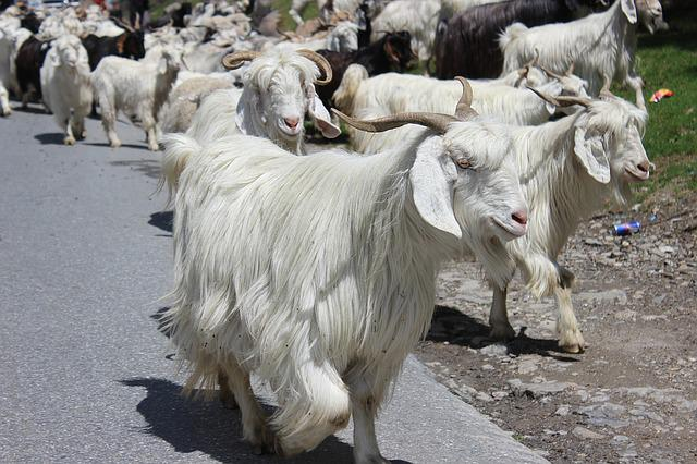 Manali, Himachal, Goat, Snow, Rohtang, Ice