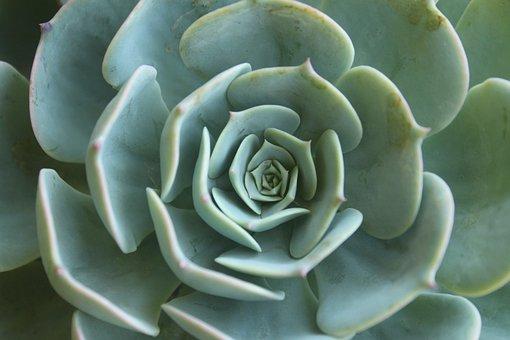 Succulent, Plant, Green, Green Flower, Mandala