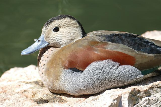 Pond, Duck, Mandarin Ducks, Waterfowl, Duck Bird