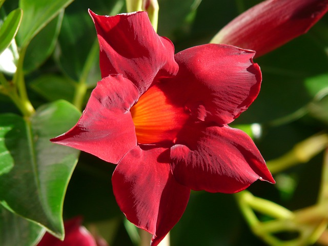 Mandevilla, Blossom, Bloom, Red, Orange, Trumpet Shaped