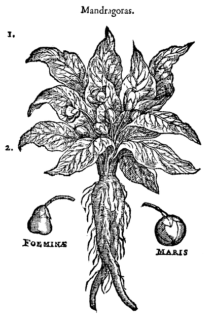 Mandrake, Plant, Health, Mandragoras
