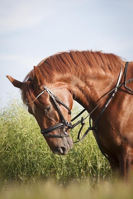 Horse, Rusty, Mane, Bridle, Uzdečka, Mare, Gelding