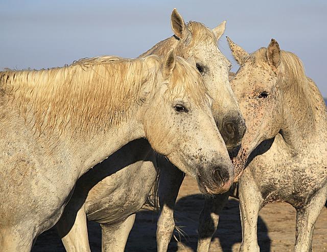 Horse, White, Horses, Equine, Animal, Mane, Horsehair