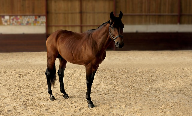 Horse, Manege, Bai, Whole, Careful, Look, Animal