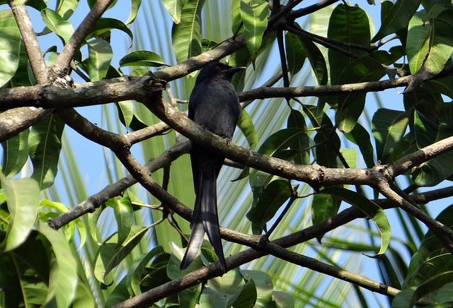 Drongo, Bird, Fauna, Perched, Mango Tree, Dharwad