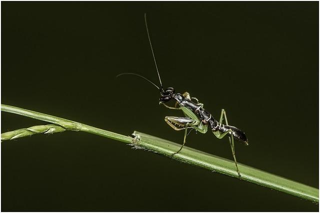 Praying Mantis, Insect, Mantis, Mantodea, Nature