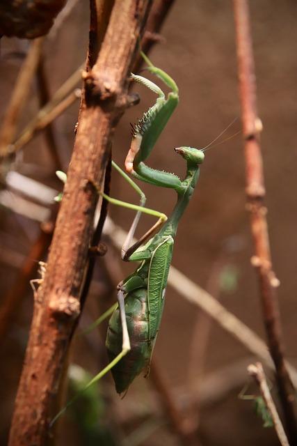 Sonnenanbeterin, Mantis Religiosa, Fishing Locust