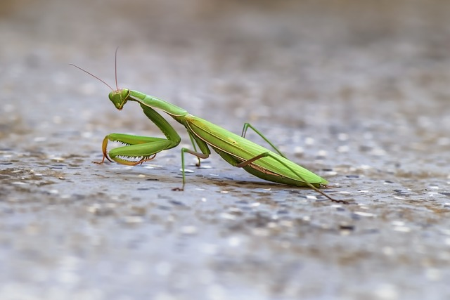 Mantis, Mantoptère, Insect, Green, Mantis Religiosa