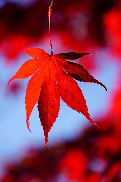 Maple Leaves, Leaves, Autumn, Fall Foliage, Maple