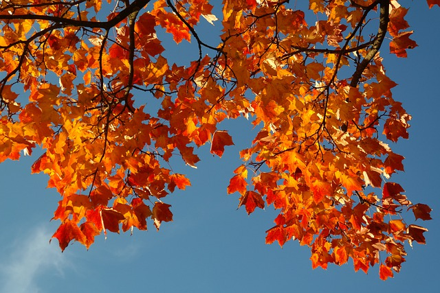 Leaves, Autumn, Fall Color, Branch, Maple